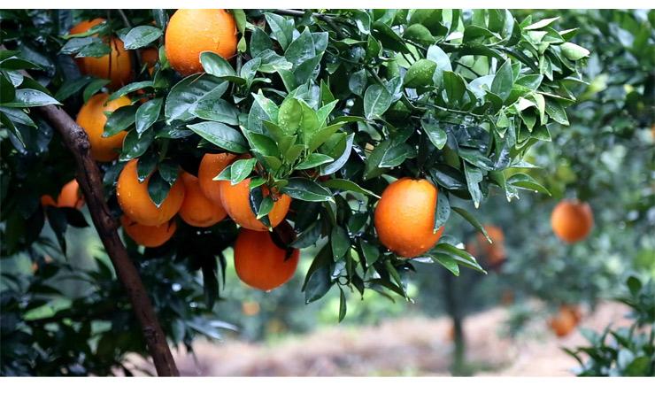 赣南脐橙基地果园