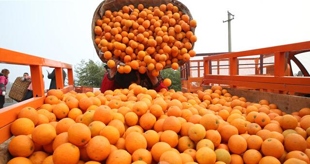 赣南脐橙基地装货