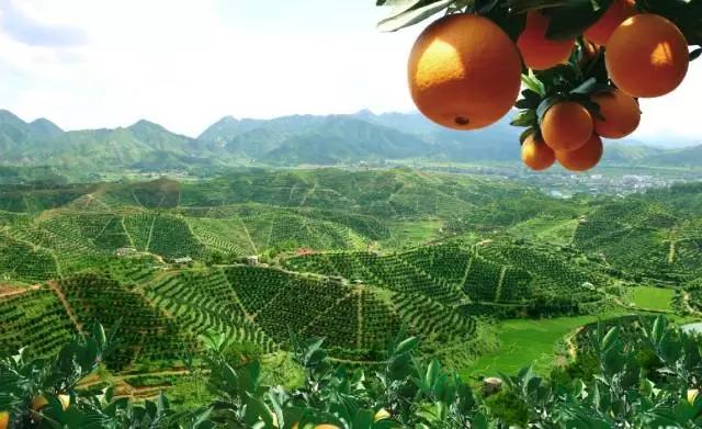 赣州极利脐橙果实糖分积累,具有脐橙种植的气候条件。