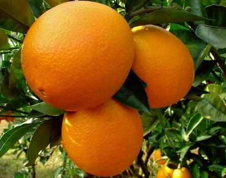 为了卖好脐橙,蔡哥在源头上把控果源采购