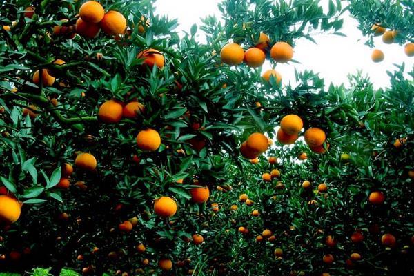 脐橙栽培管理技术