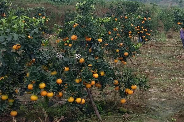 脐橙沙皮病的防治方法