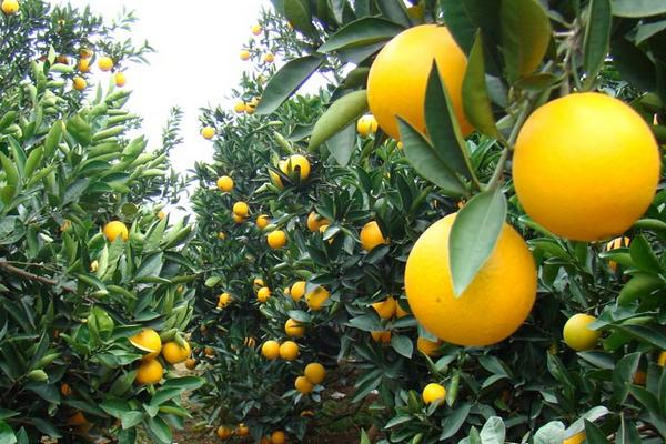 脐橙脐黄病的防治方法
