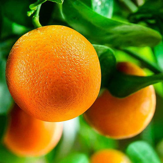 赣南脐橙基地